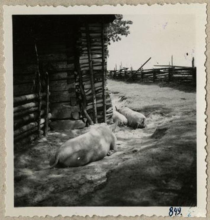 jau-dar-kiaulį-kiemi-pamacysit-cik-an-nuotraukų